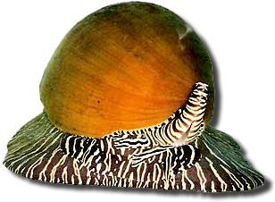 Lucaca gigante Melo Melo