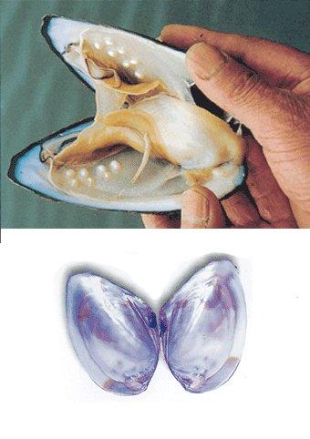Mollusco produttore di perle acqua dolce